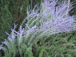 lavender-22911_640