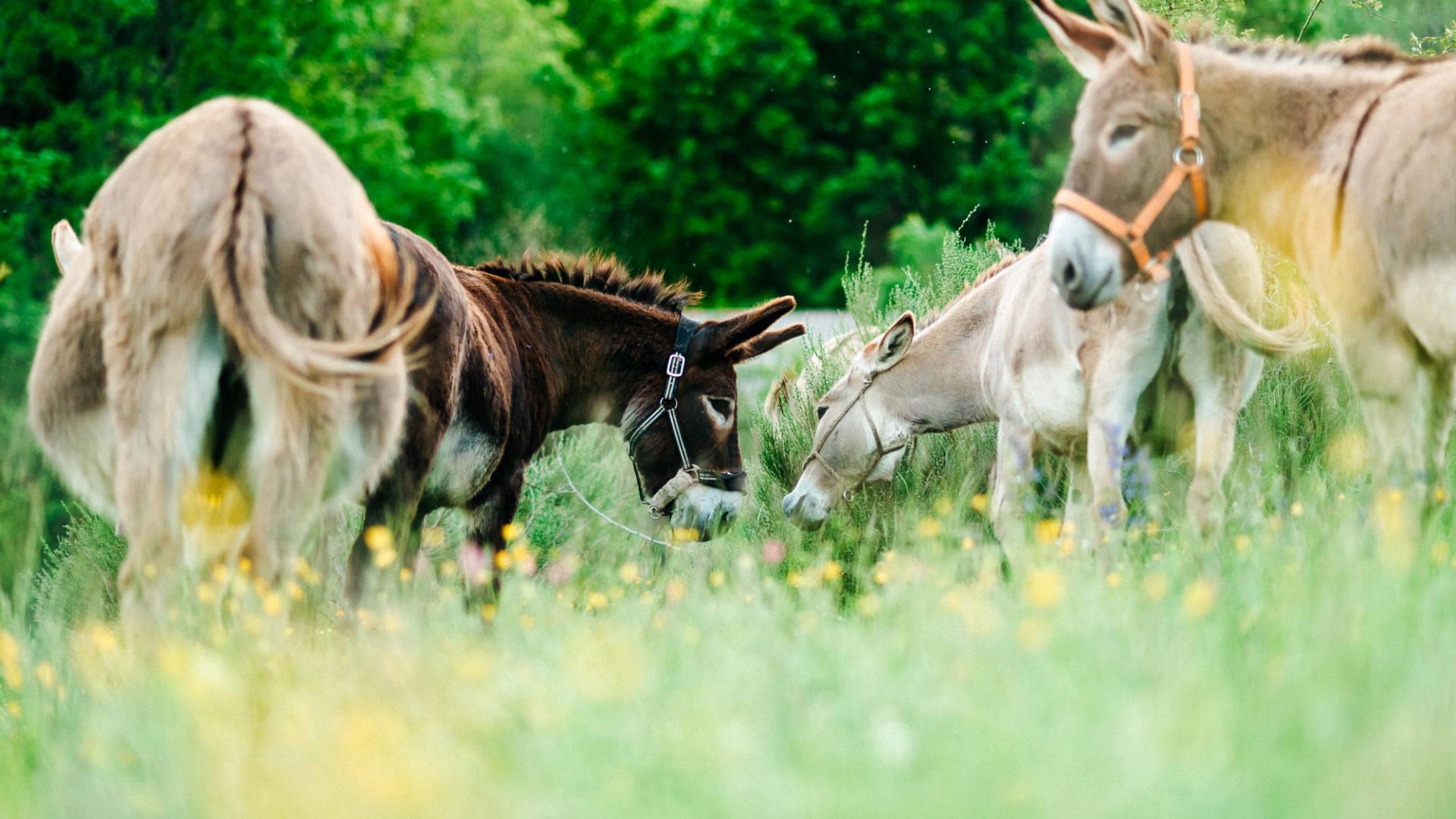 Les ânes pour randonner dans le Diois