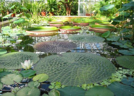 Jardin Botanico de Bristol - Nenúfares
