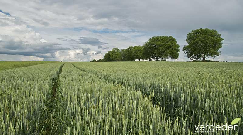 Paisaje de Campos de cereal: trigo
