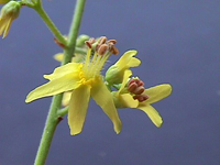 koulteria paniculata_flor