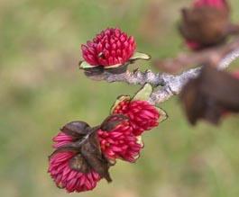 Flor de Parrotia