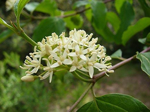 Flores de Cornus sanguinea