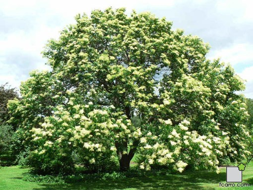 Syringa reticulata, arbusto