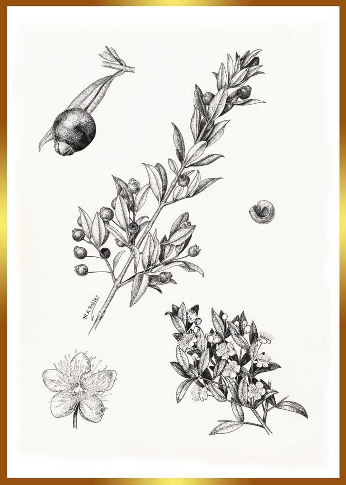 Dibujando las plantas: Dibujo de Mirto