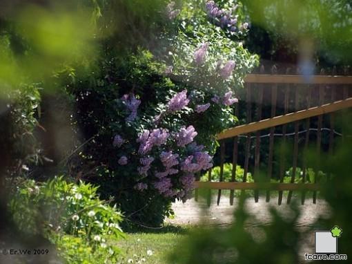 El lilo o Syringa en jardín
