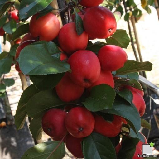 """Fruto de Malus x purpurea """"Neville Coperman"""""""