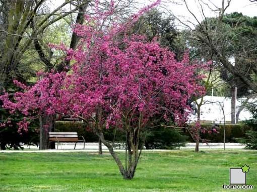 manzano ornamental
