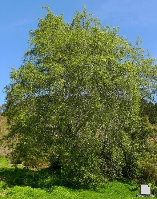 Programa raíces: Quillaja saponaria
