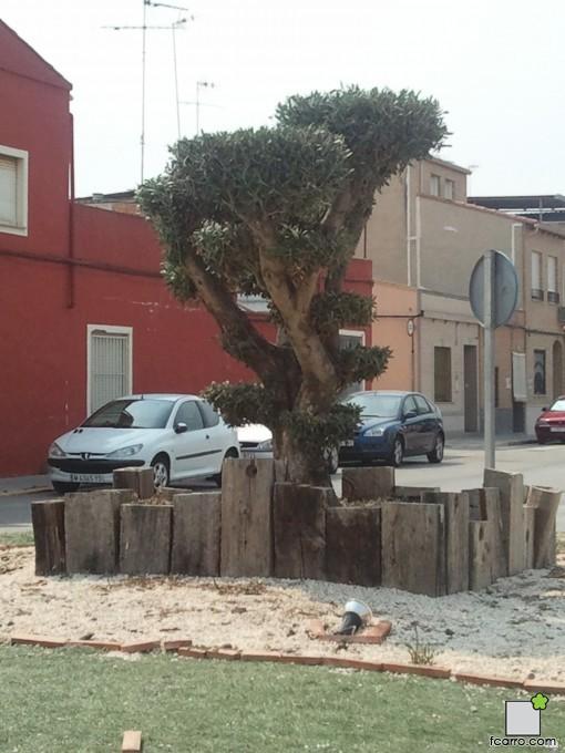 olivo en  Benifaió, Valencia