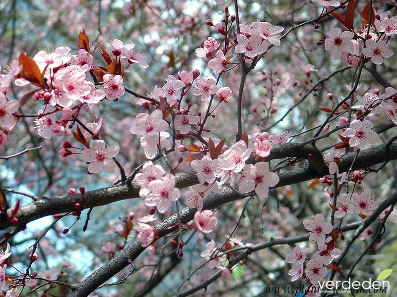 Prunus en primavera