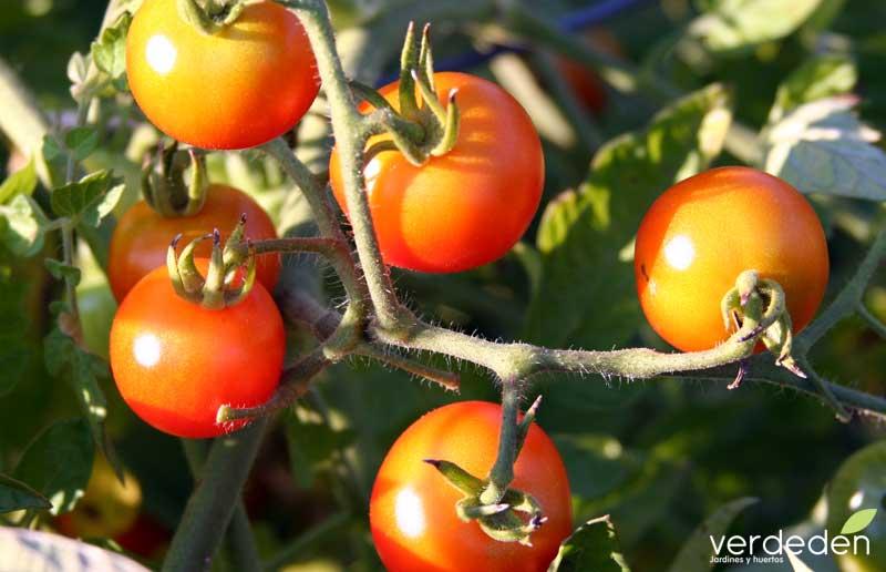 tomate en rama