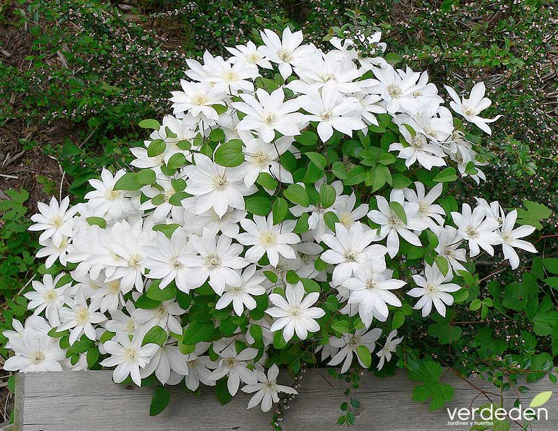 "Clematis ""Henryi""_flor"