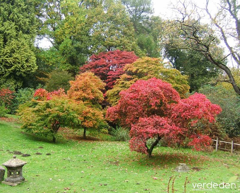 Acer palmatum_jardín-japones