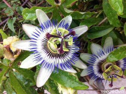 La flor de la pasión, la pasionaria (Passiflora caerulea)