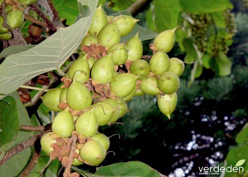 Paulownia frutos