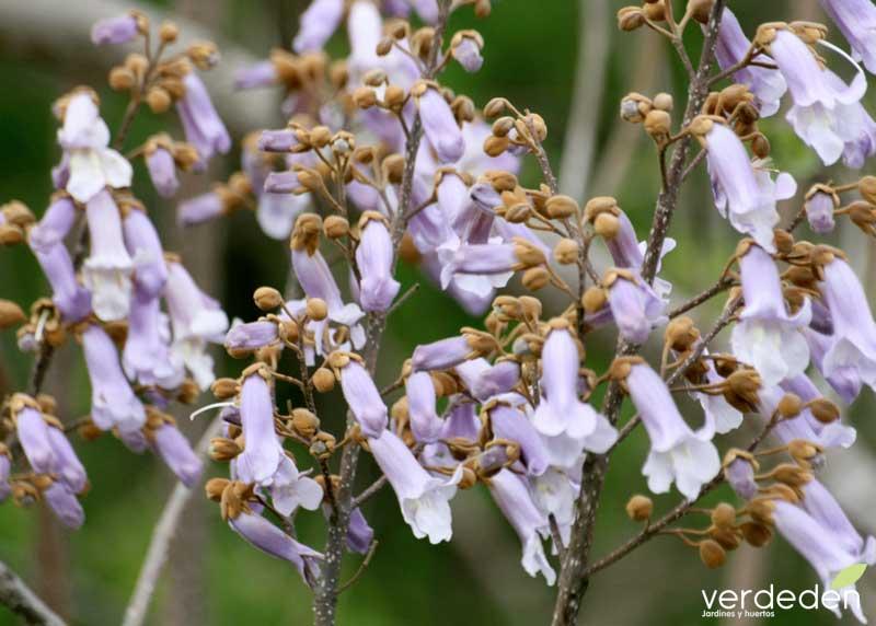 La Paulownia tormentosa_flores