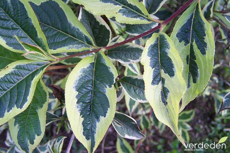 Hojas variegadas Weigela florida