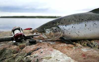 Pohjoisen lohi tarvitsee lisää kalastusrajoituksia, tehostettua valvontaa ja kunnolliset kalatiet