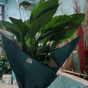 pianta di giglio