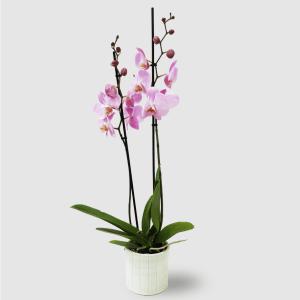 Orchidea con vaso in ceramica zigrinato verde