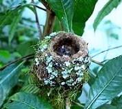 Nido e pulli di colibri' calliope