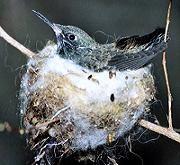 Colibri' Amazilia amazilia sul nido