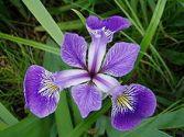 Süsen çiçeği