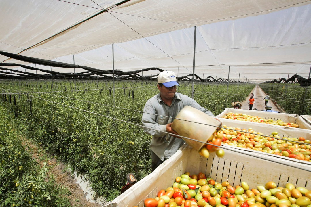 A farmworker empties a bucket of tomatoes