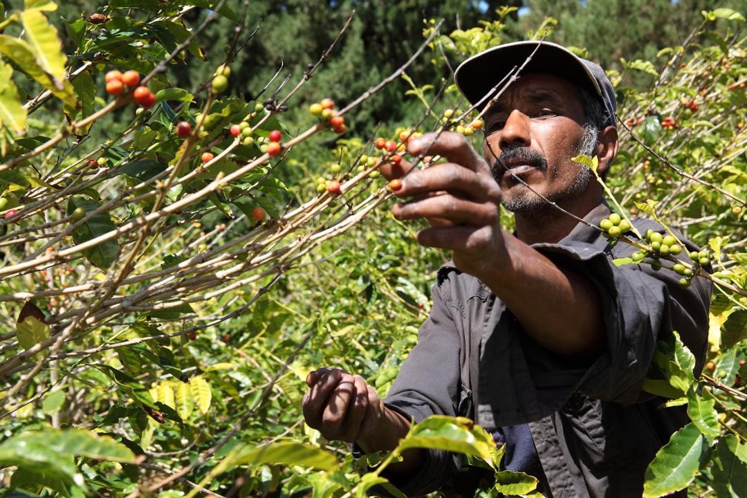 Coffee farmer picks ripe beans