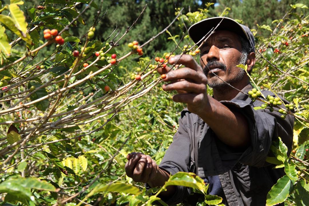 Coffee farmer picks ripe beans
