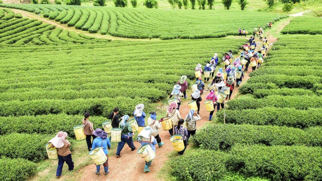 Tea Workers Walking in Field