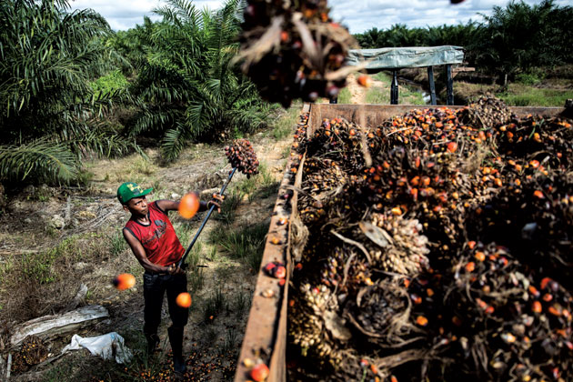 A farmworker in Berau, Indonesia, loading oil palm bunches Photograph by Kumal Jufri