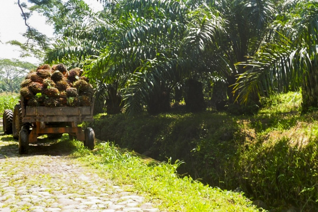 A Truck Holding Palm Fruits in Guatemala