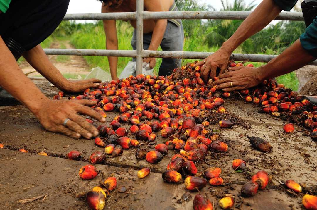 Workers collect palm oil fruits