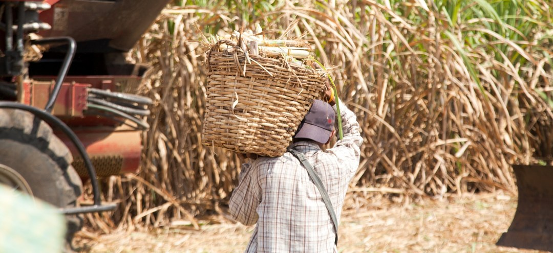 A worker carries cane at a sugar plantation in Latin America