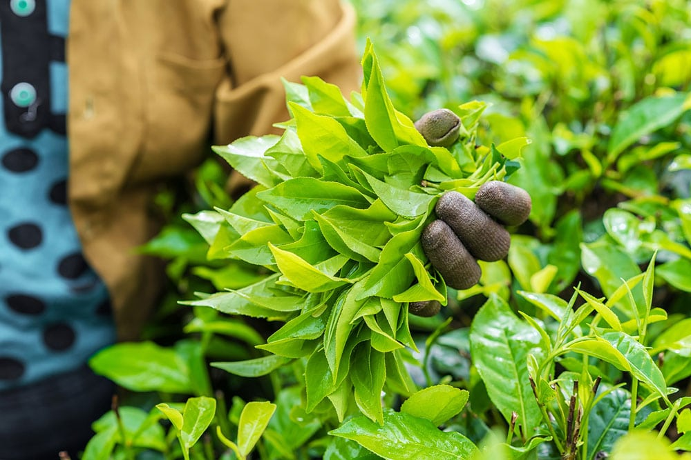 A Worker Holding Leaves