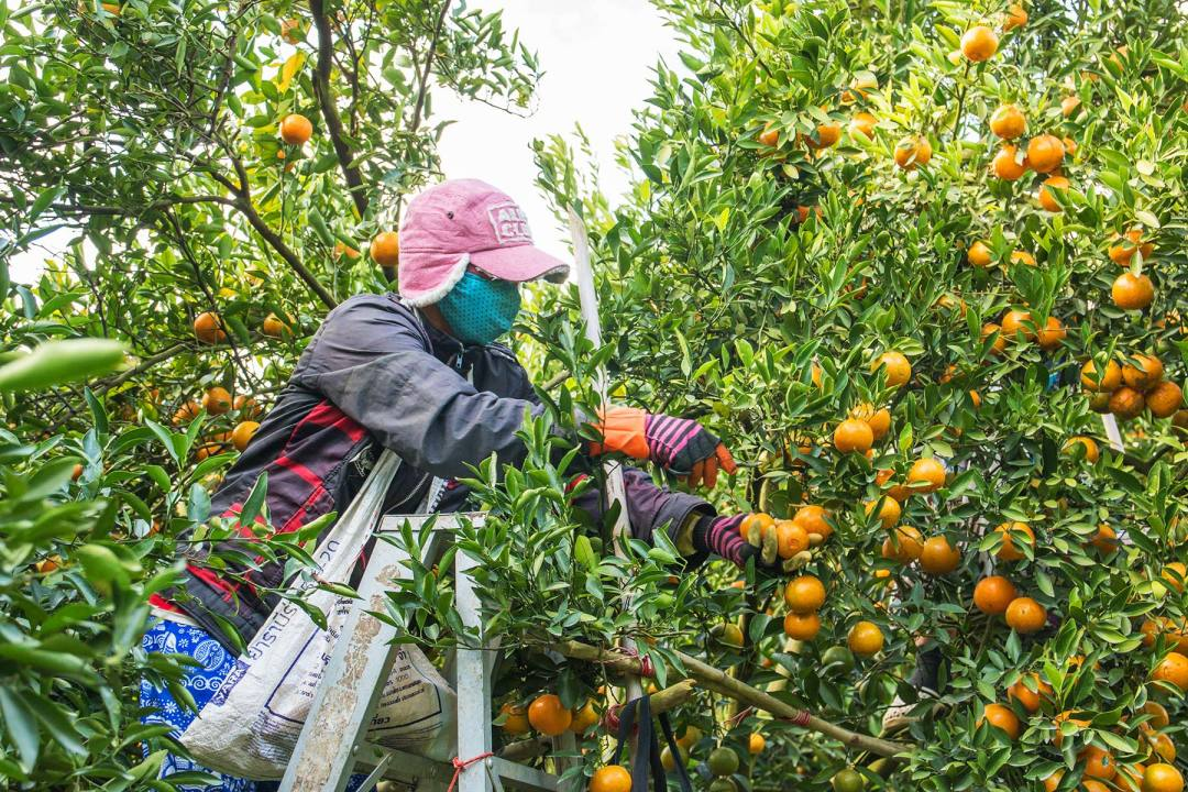 A worker picking oranges