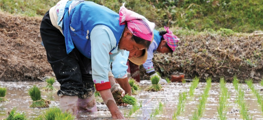A woman works in a rice paddy
