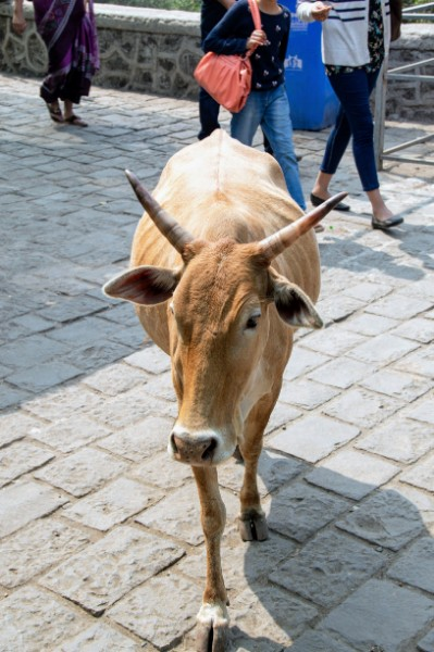 Cows on Elephanta Island - Veritru - Mumbai, India