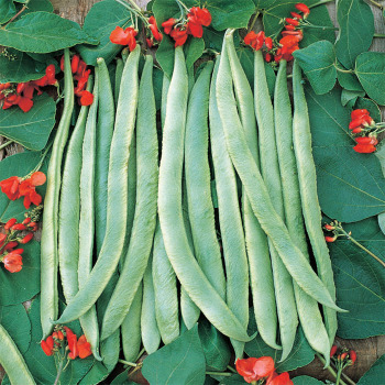 Scarlet Runner Bean Pole Beans Vermont Bean Seed Company