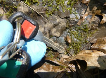 A newly emerged wood frog begins its journey into the forest (car key for scale).