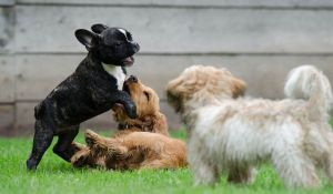 cuccioli giocano insieme