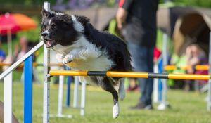 veronadogs - cane che fa agility