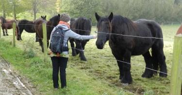 Belgische Trekpaarden Vollezele