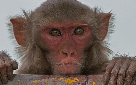 Curious monkeys are as thirsty for knowledge as humans