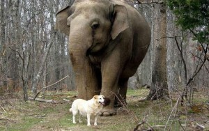 The Pregnant Dog and Elephant