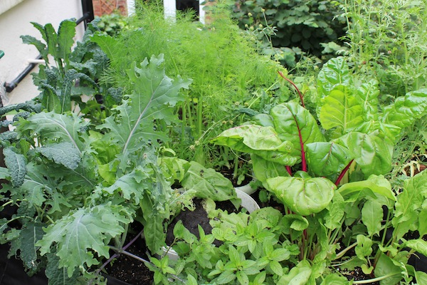 Most leafy crops grow well in less sun - this chard and cavelo nero were getting about four hours a day.