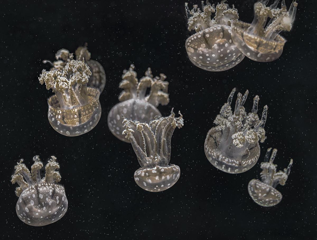 Mary Anne Chilton, Upside Down Jellyfish
