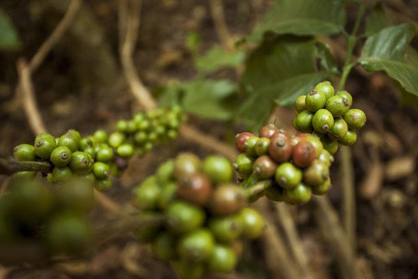Raw Green Berries